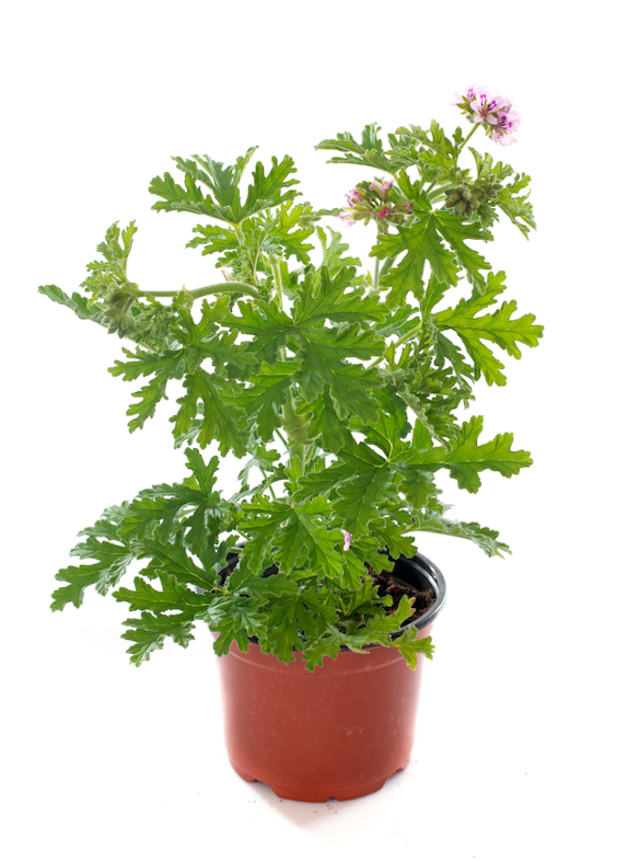 Citronella-Geranium-in-pot