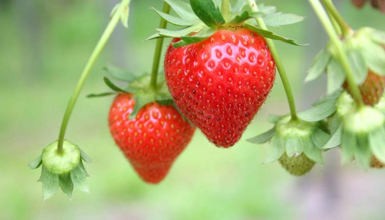Tips-for-growing-strawberries
